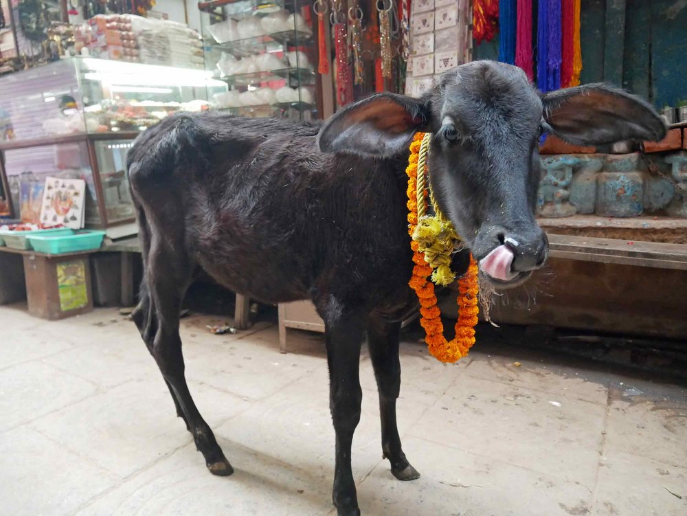 A baby calf adorned with offerings.