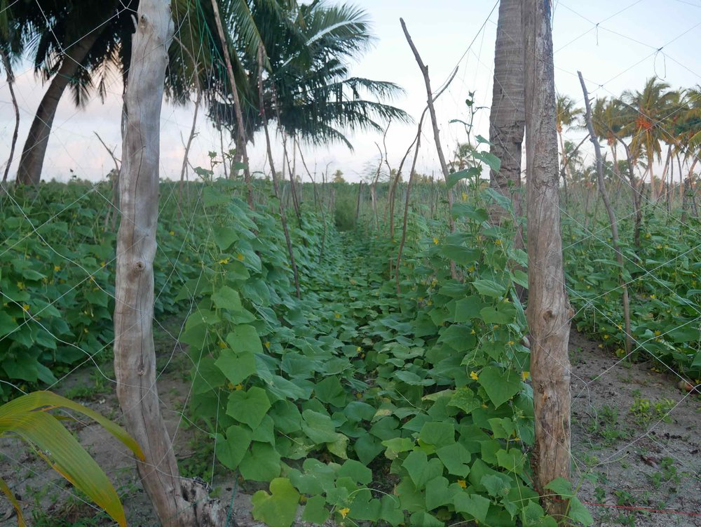 Rows of squash and beans grow on this agricultural island.