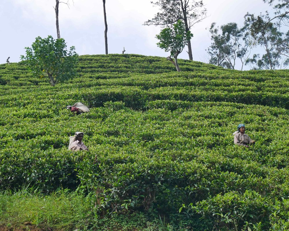 Women harvesting tea at the plantations around Ella (Dec 18).