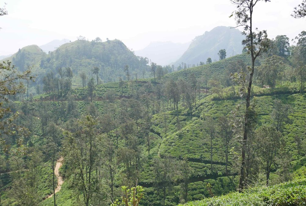 The picturesque tea fields of Sri Lanka are not to be missed!