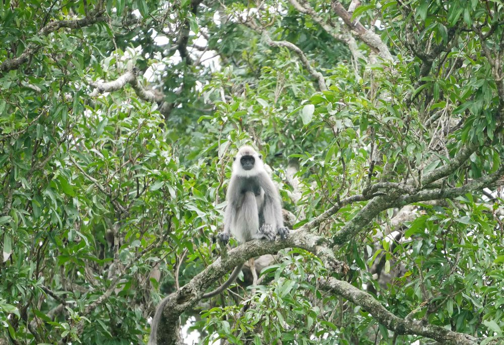 This beautiful Grey Langur Monkey waited out the rain from her perch.
