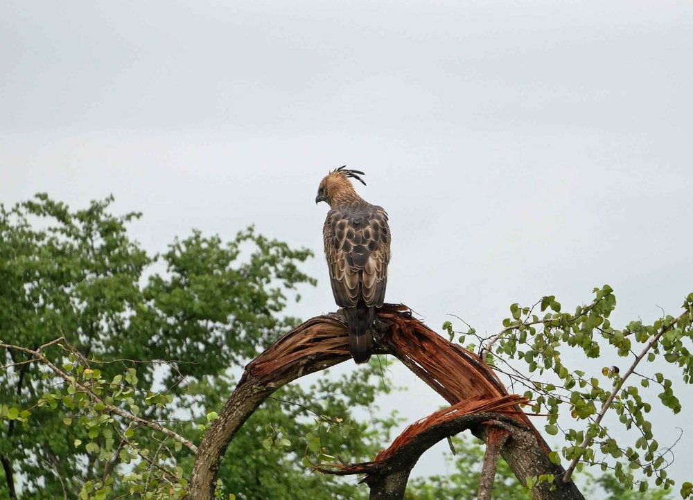 A Crested Hawk Eagle perched high atop the canopy as it scanned for prey.