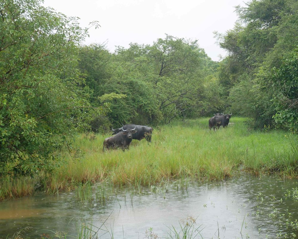 Water buffalo were curious of our Jeep.