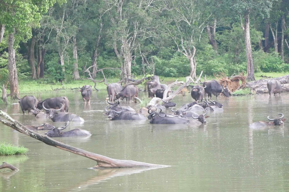 A herd of water buffalo were completely in their element.