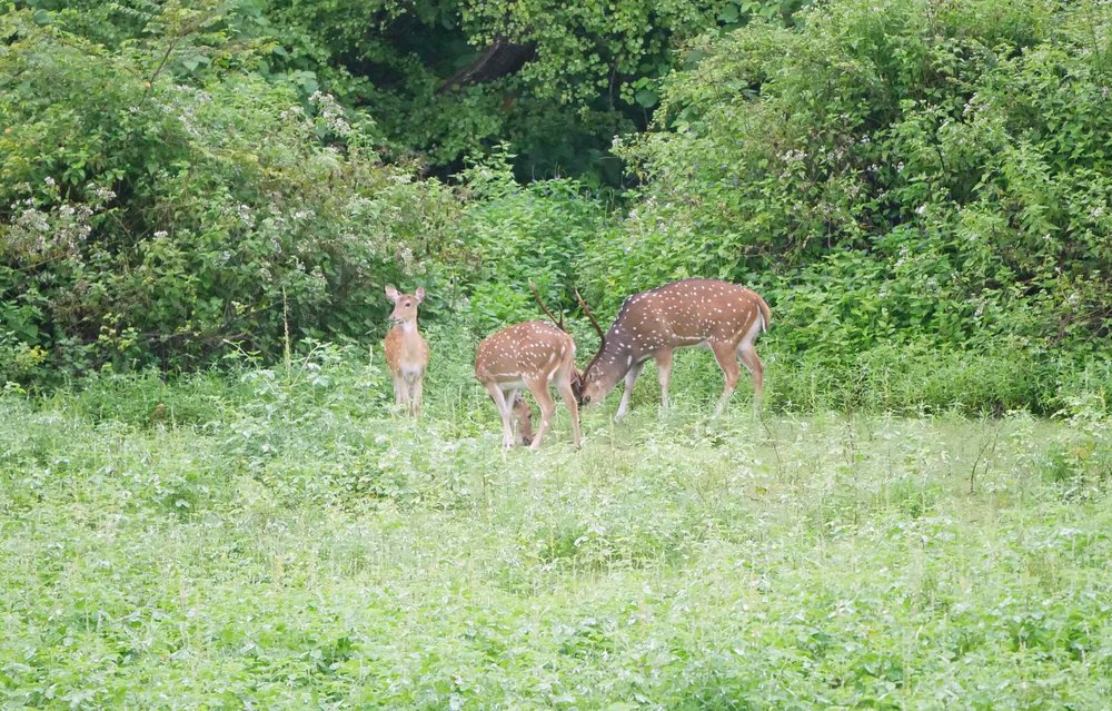 A small herd of Sri Lankan Sambar Deer grazed in a meadow.