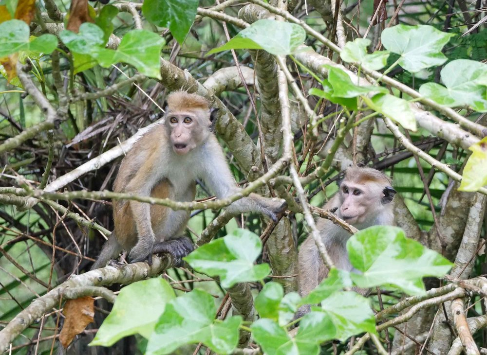 A pair of toque macaque monkeys were caught off guard!