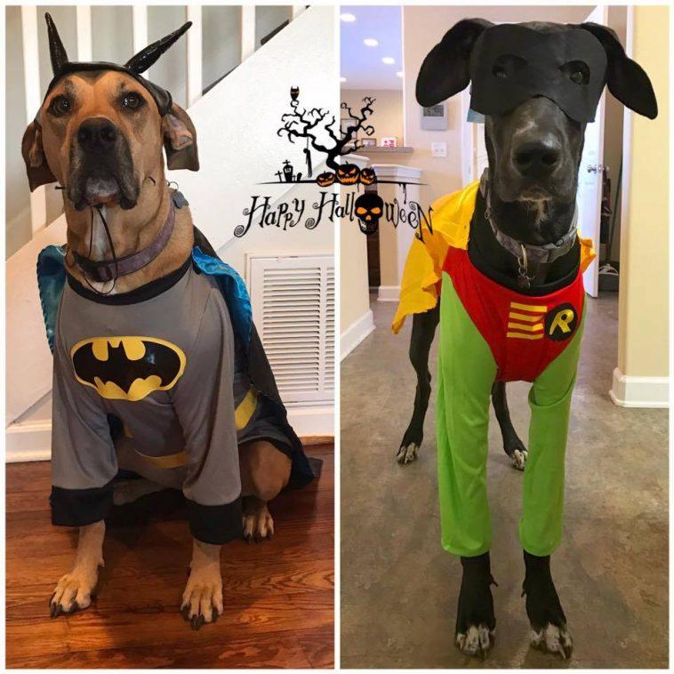 funny-great-dane-dog-halloween.jpg