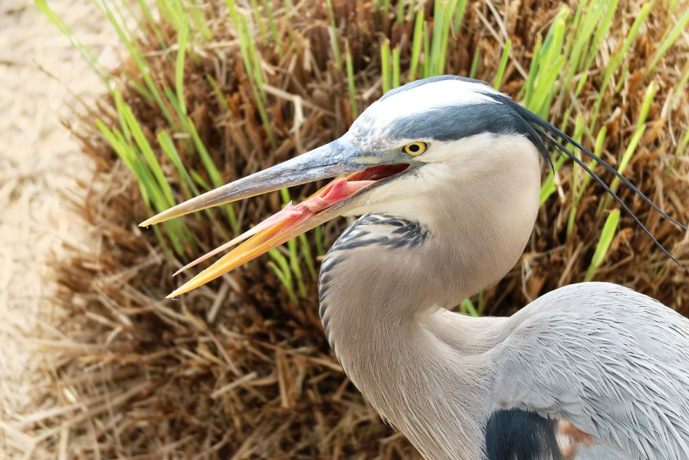 Great Blue Heron (  Ardea herodias  ) @ Mayo Clinic