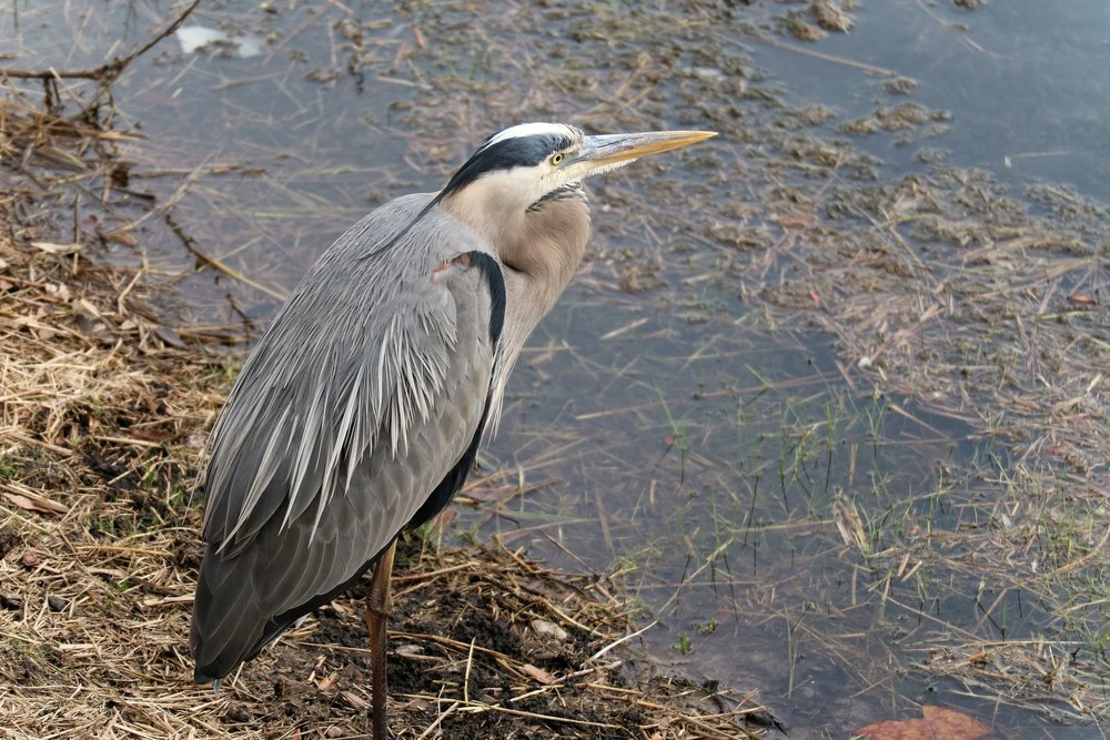 Great Blue Heron @ Mayo Clinic