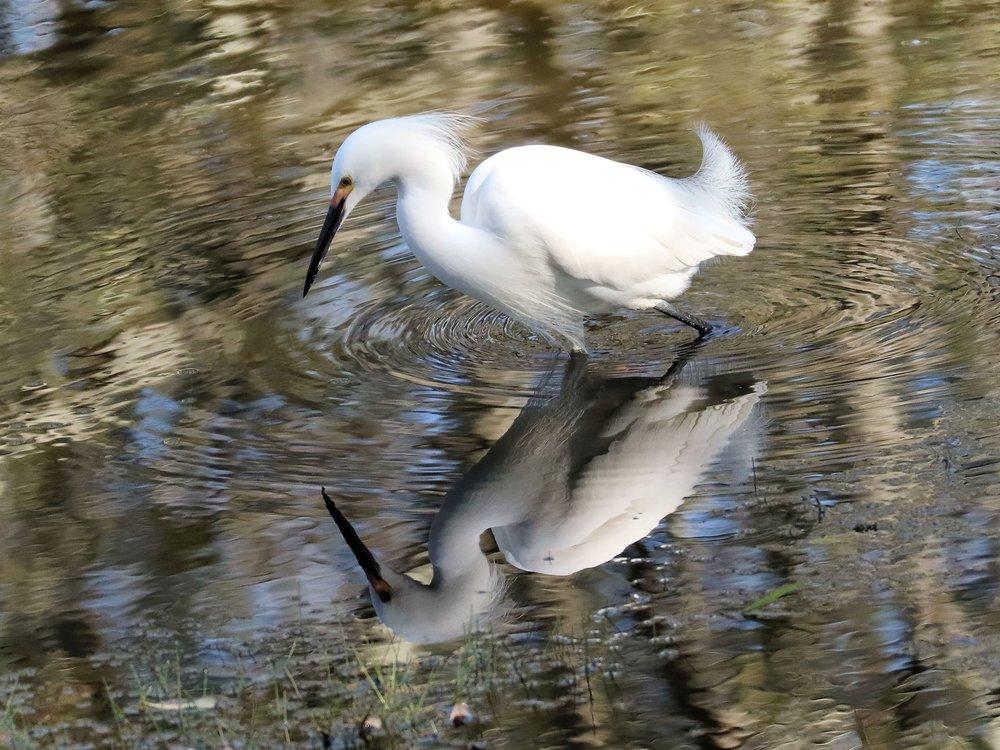 Snowy Egret (  Egretta thula  ) @ Mayo Clinic
