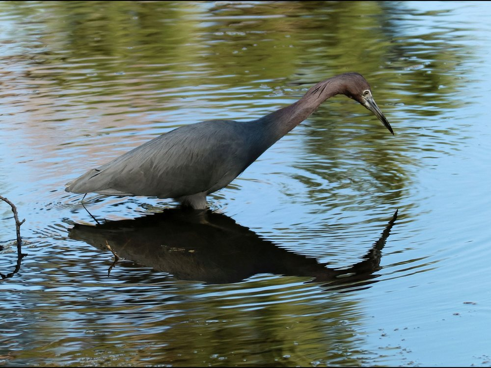 Little Blue Heron (  Egretta caerulea  ) @ Mayo Clinic