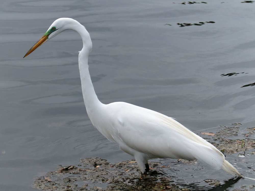 Great Egret (  Ardea alba  )  @  Mayo Clinic)