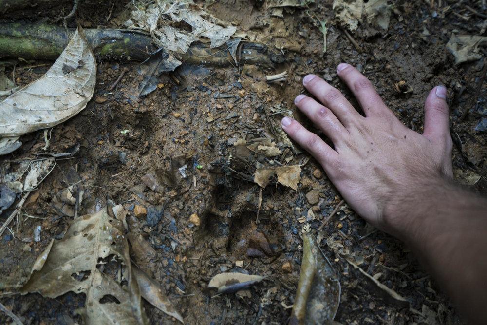 Huellas del jaguar en cerro Tigre