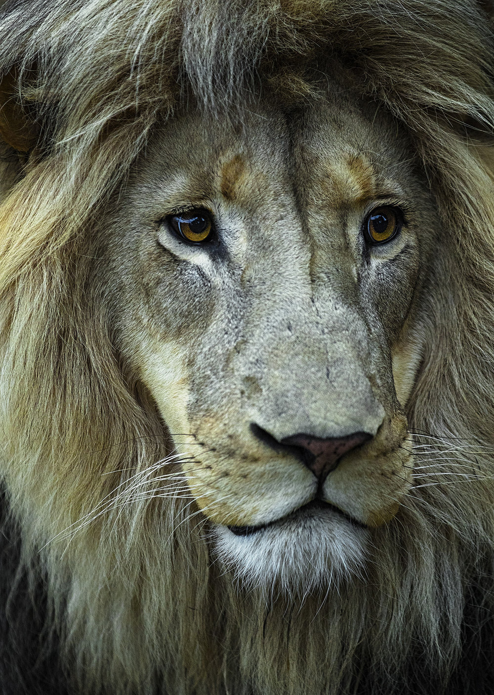 lions of africa -