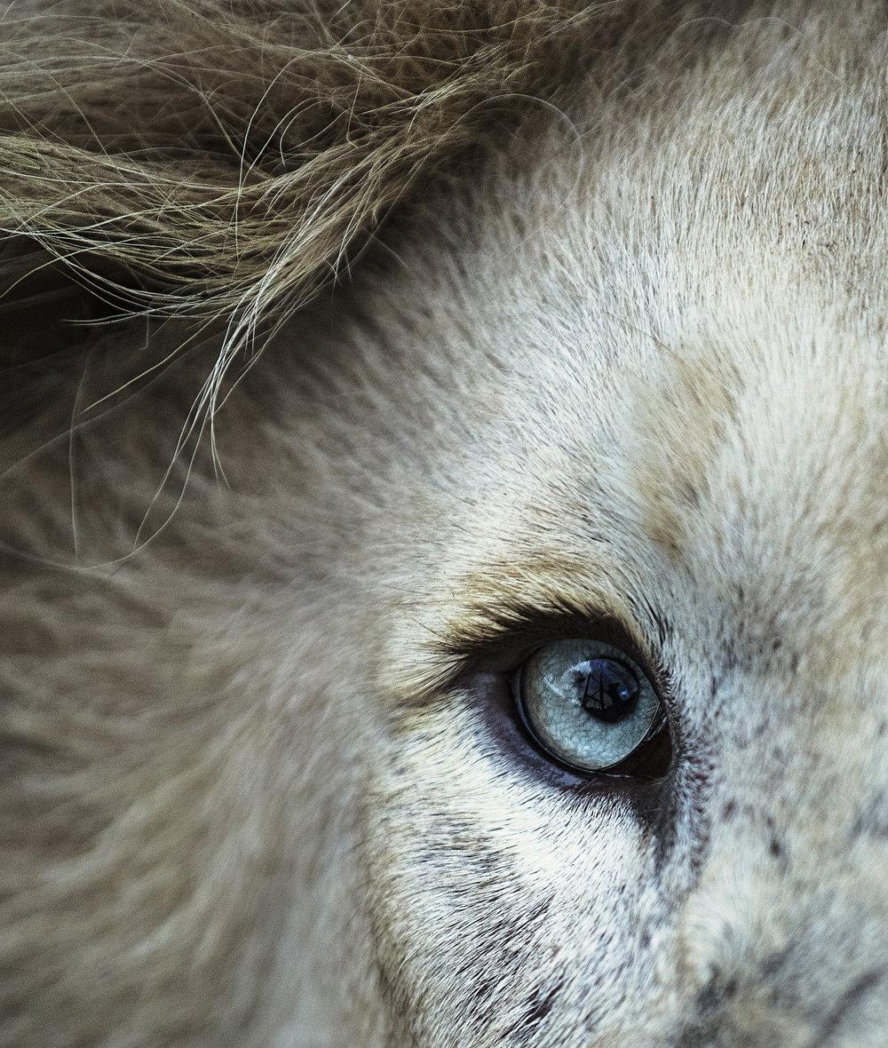 Simon+Needham+Humanitarian+Photography+Lions+of+Africa+7.jpg