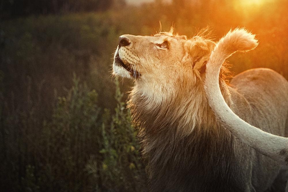 Simon+Needham+Humanitarian+Photography+Lions+of+Africa+1.jpg