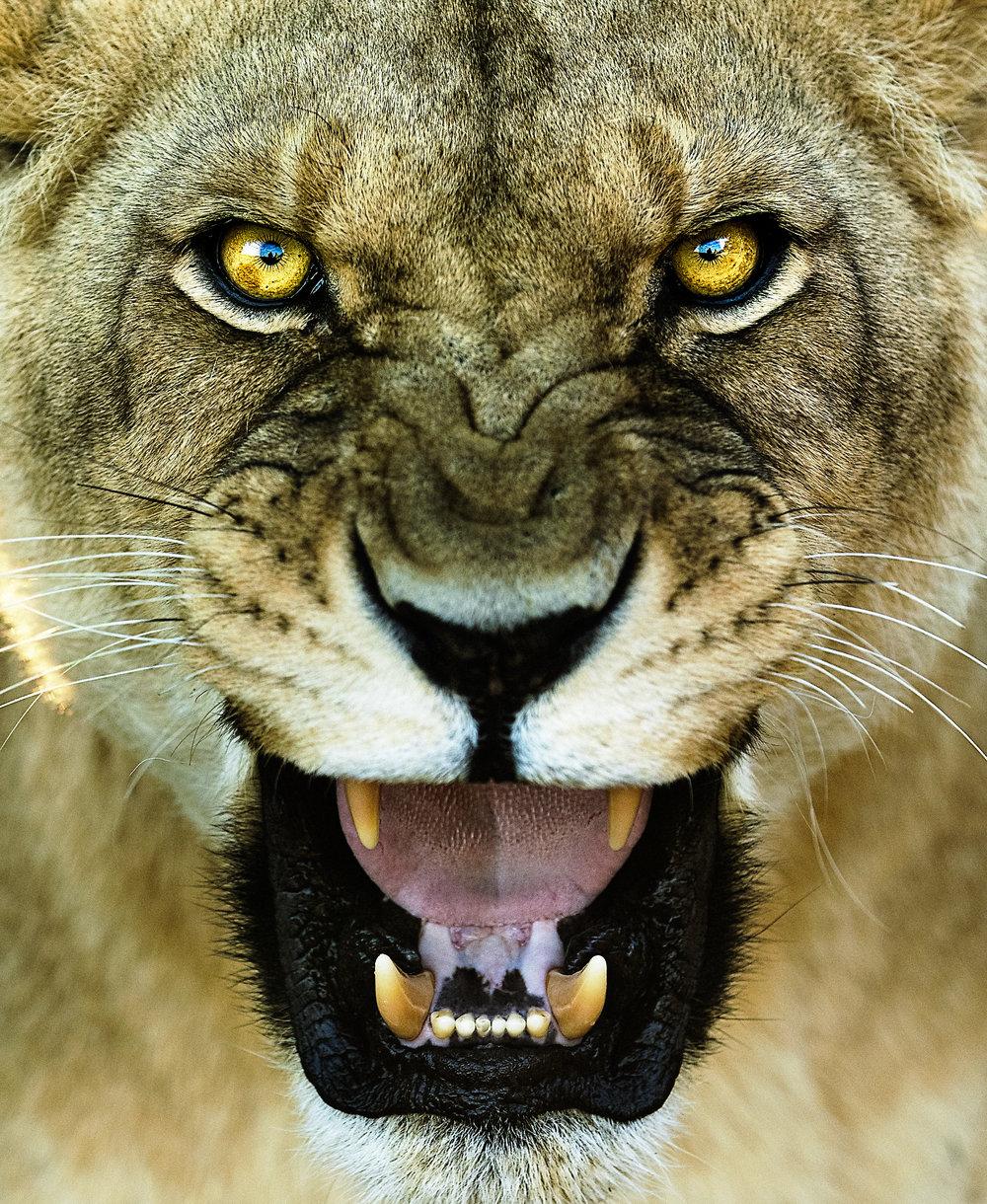 Simon+Needham+Humanitarian+Photography+Lions+of+Africa+2.jpg