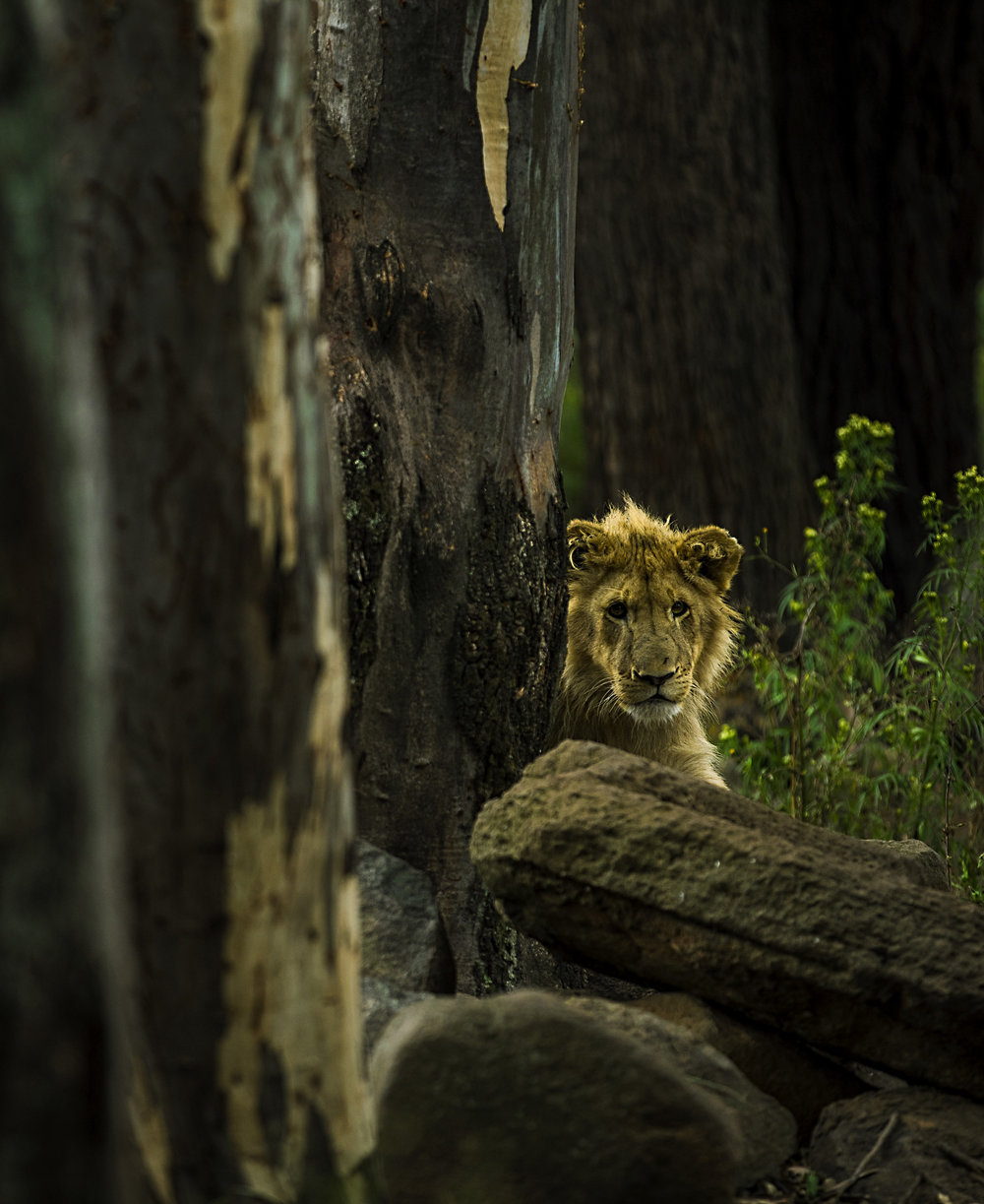 Simon+Needham+Humanitarian+Photography+Lions+of+Africa+15.jpg