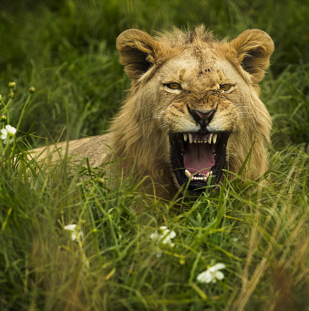 Simon+Needham+Humanitarian+Photography+Lions+of+Africa+17.jpg