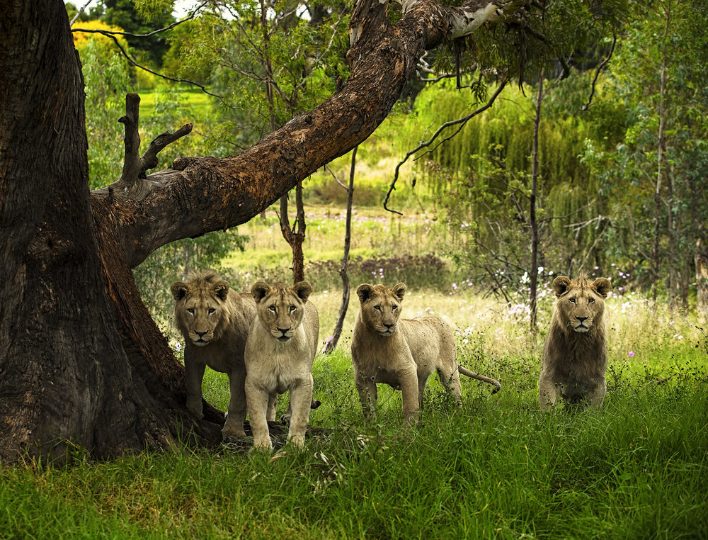 Simon+Needham+Humanitarian+Photography+Lions+of+Africa+16.jpg