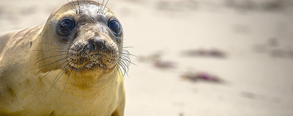 CA WILDLIFE FOUNDATION -SEALS -