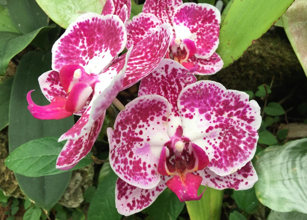 phipps-pink-spotted.jpg