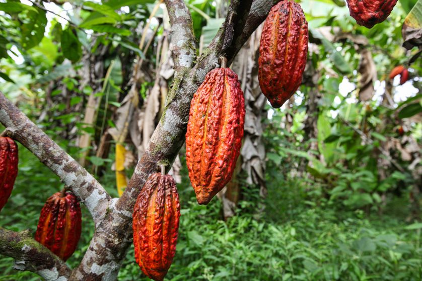 34 Cacao Trees - Planted in Kenya in 2017