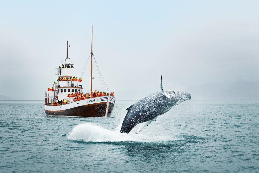 humpback-breaching-in-front-of-Garðar-©-Letta-Shtohryn-2499x1666.jpg