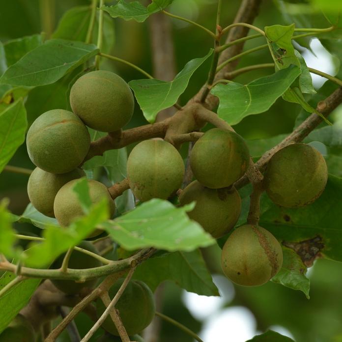 Kukui Nut Oil