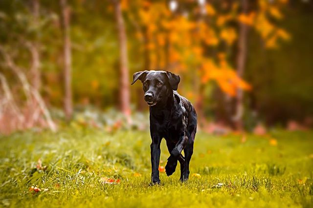 """Okay, it's TOUGH getting a good """"running fast towards you"""" shot, that's actually in focus. Especially when your 85mm lens doesn't have the fastest autofocus (read: absolutely not suitable for sport photography). BUT this one turned out pretty great, in my opinion! — #vsco #canonphotography #vscocam #canon #lightroom #photography #photoshop #schymerau #photooftheday #picoftheday #dog #pet #dogstagram #pup #animals #weeklyfluff #doglovers #canonphoto #dogs_of_instagram #instapuppy #lovedogs #animal #instapet #dog_features #bestwoof #fineart #topdogphoto #cutepetclub #dailybarker #dogscorner"""