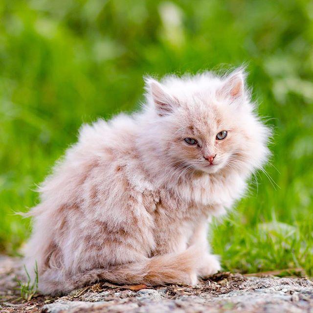 OMG IT'S SO FLUFFY I'M GONNA DIIIIE 🐱🐭🙈 #vsco #canonphotography #vscocam #canon #lightroom #photography #photoshop #portrait #schymerau #photooftheday #picoftheday #photochallenge #sønderborg #cat #kitten #kittensofinstagram #catoftheday #canoneos #photooftheweek #catsofinstagram #catlovers #catstagram #bestmeow #kittens #photoaday #canonphoto #photoadaychallenge #kitty #cats #instacat