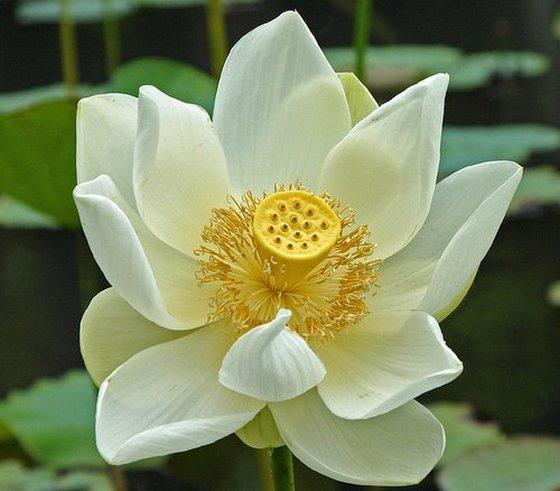 White-Lotus-Flower.jpg