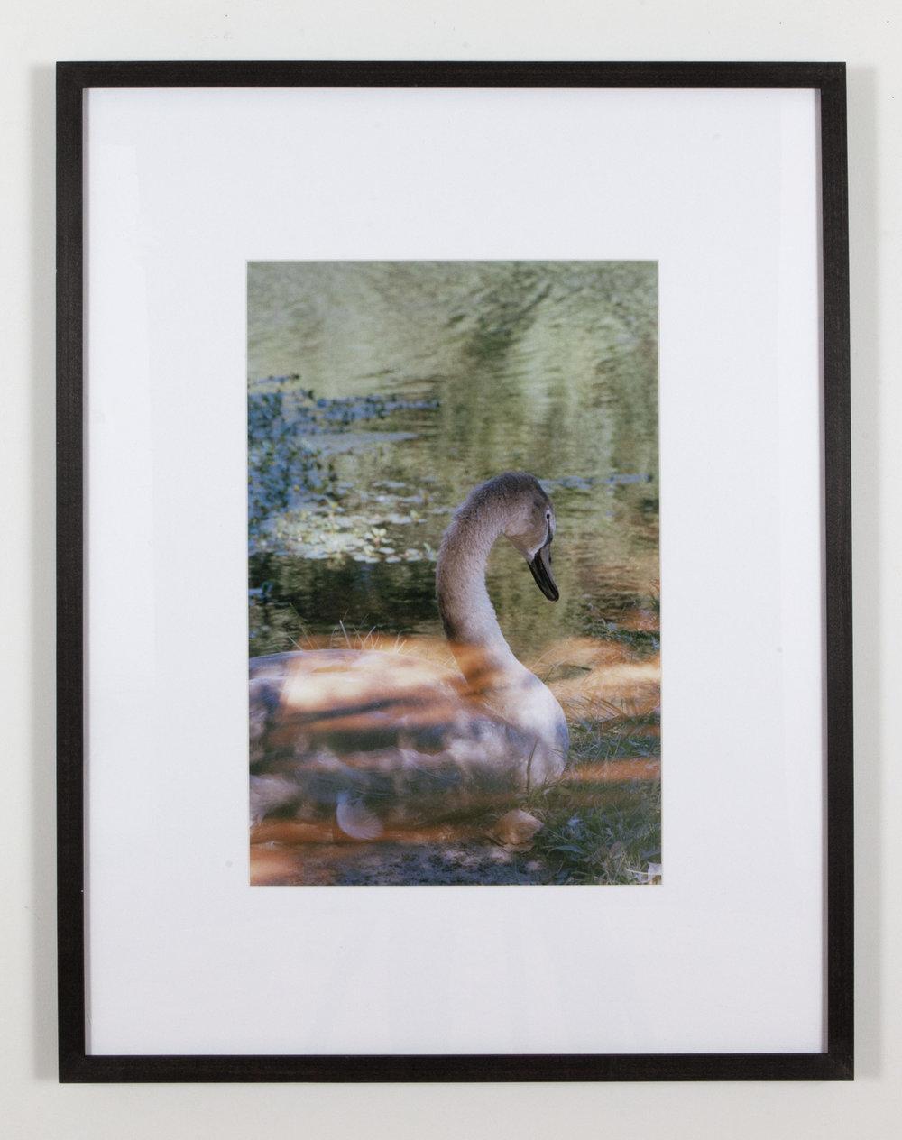 Swan + Light Leak,  2017,  inkjet print, 24 x 30 inches framed