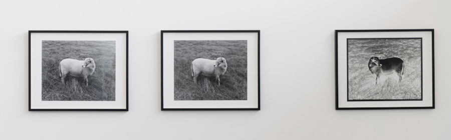 Alice Shaw,  Ba Ba Black Sheep  (2017/18), 3 gelatin silver prints
