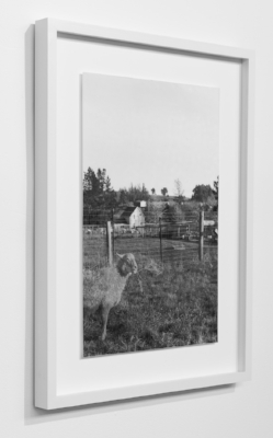 Alice Shaw,  Two Sheep  (2017/18), lenticular photograph