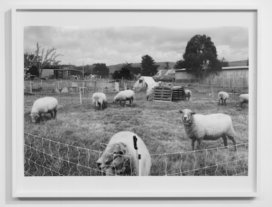 Alice Shaw,  Sheep/3:03:38-3:27:44pm  (2017/18), pigment print