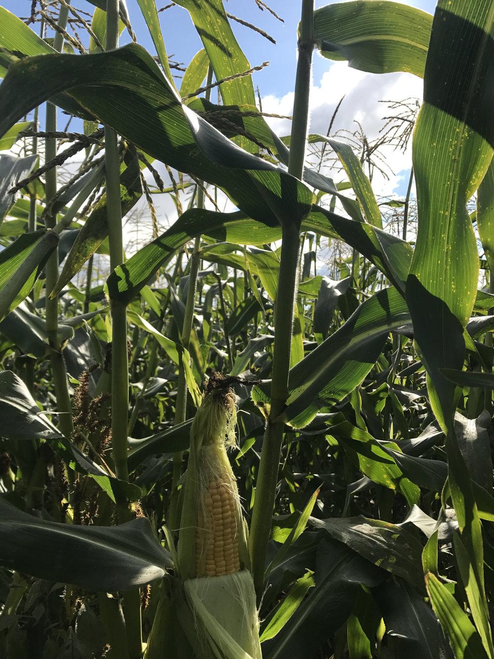 Corn Growing.jpg