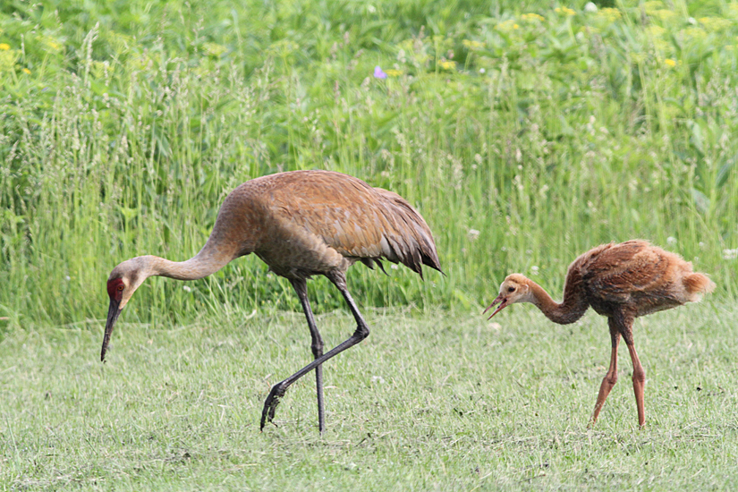Sandhill Cranes - photo by Geoff Williamson