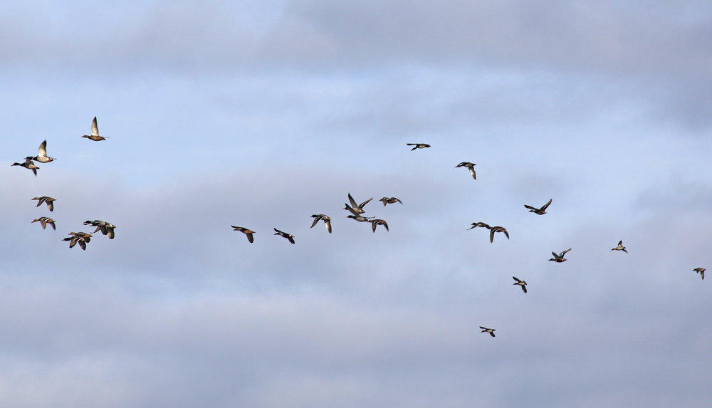 Mallards, Shovelers and Green-Winged Teals in flight - photo by Andrew Aldrich