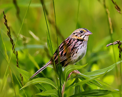 Henslow's Sparrow - photo by Scott Ellis