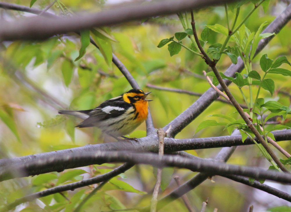 Singing male Blackburnian Warbler