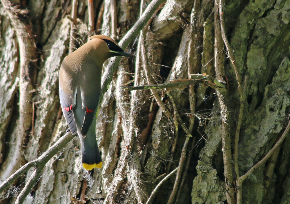 Cedar Waxwing collecting webs for a nest
