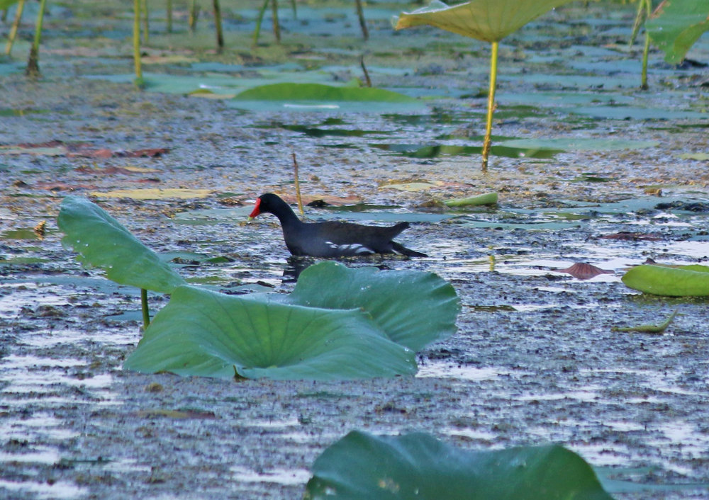 Common Gallinule