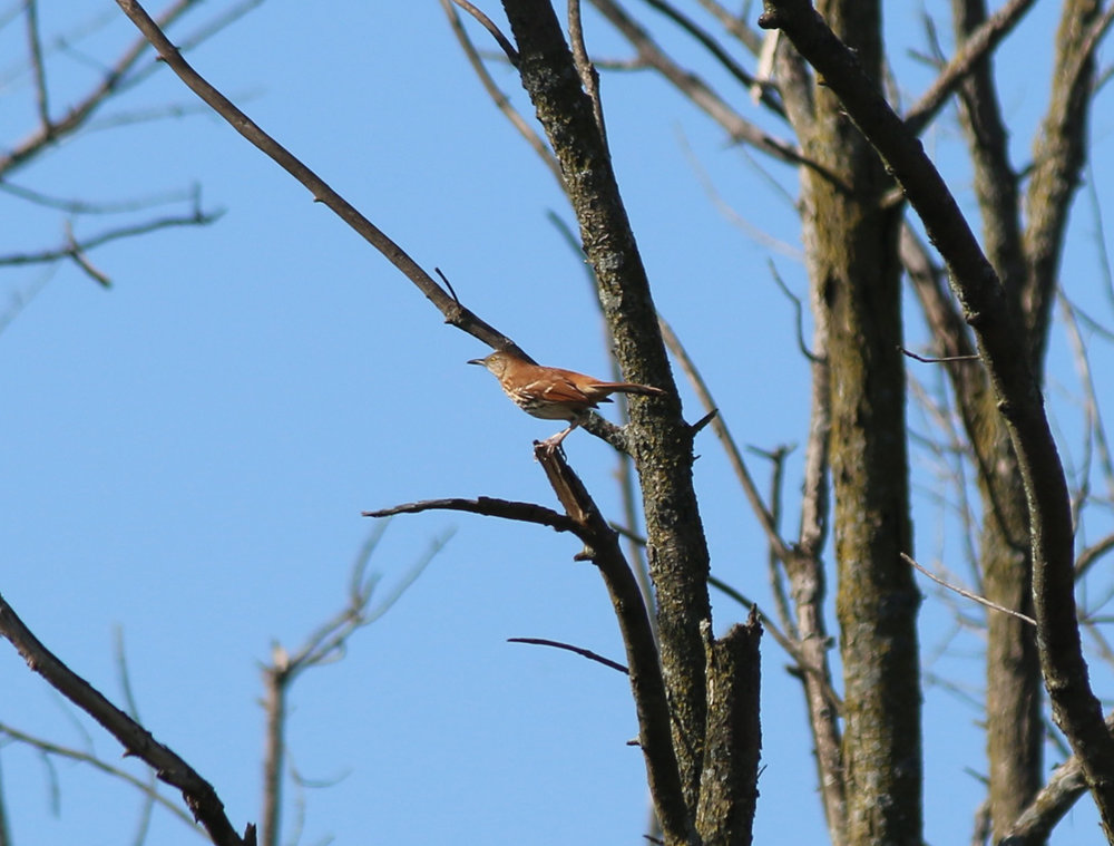 Brown Thrasher 1.jpg