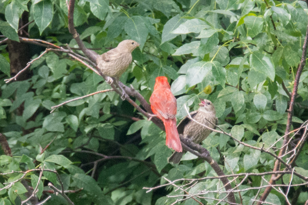 An altruistic Cardinal feeding two Cowbird fledglings--expending all its energy for the continuation of another species.