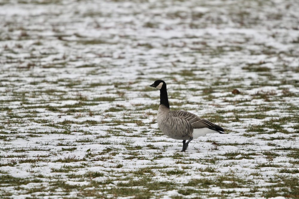 A Cackling Goose present in Calumet Park in Chicago in November 2018.
