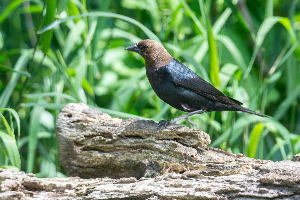 Brown-headed Cowbird.jpg