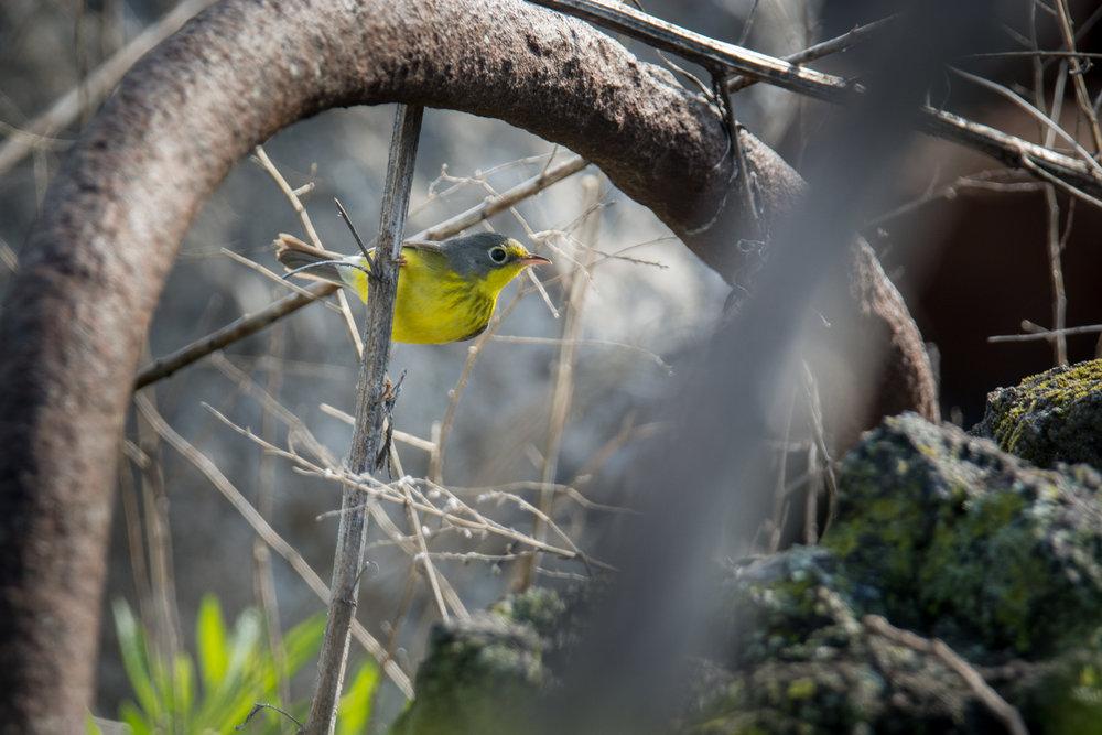 Canada Warbler.jpg