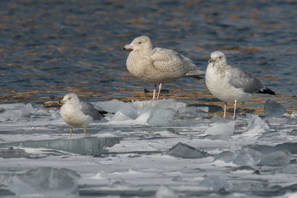 An immature Glaucous Cull flanked by a Ring-billed Gull and a Herring Gull.