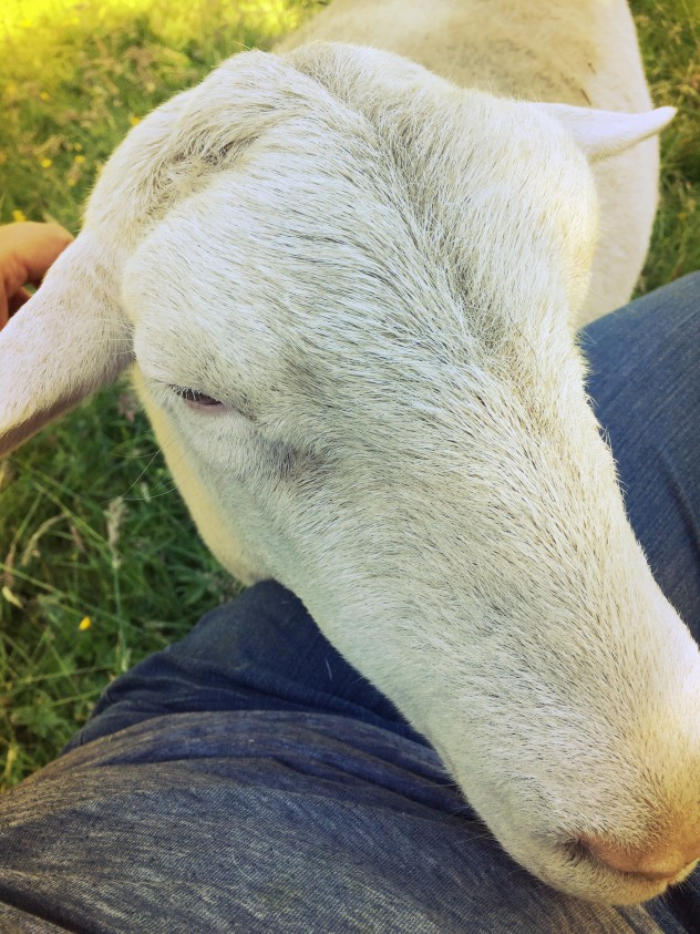 After the rescue yesterday, Klondike the sheep came up to me while I was sitting in the main pasture and put his head in my lap. He stayed there for what felt like eternity